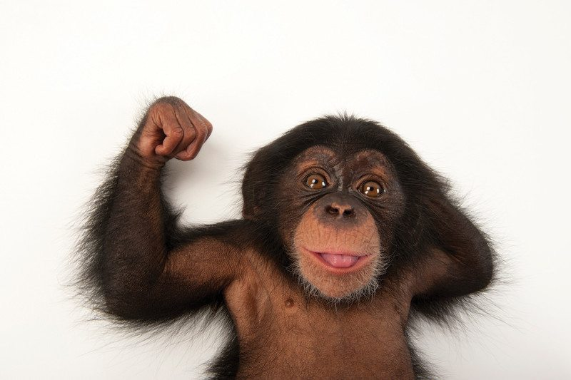 Chimpanzee muscles