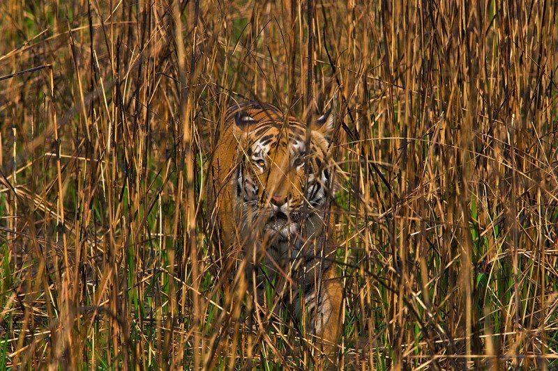 Tiger in vegetation