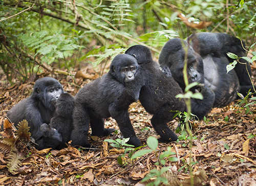Gorillas clinging on