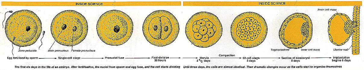 The first six days of an embryo