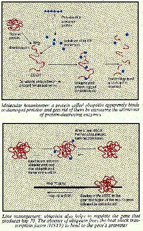 Action of protein ubiquitin