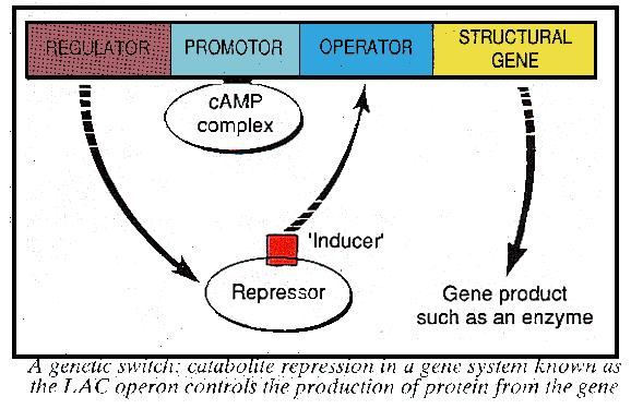 Catabolite repression and genes