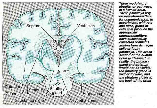 Three modulatory brain circuits