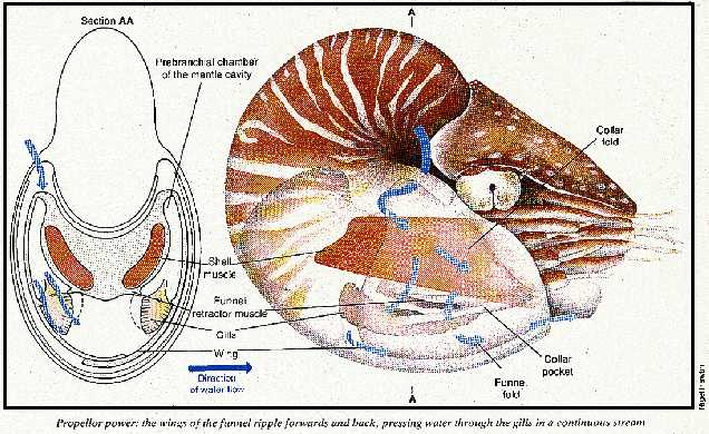Water flow through a Nautilus shell