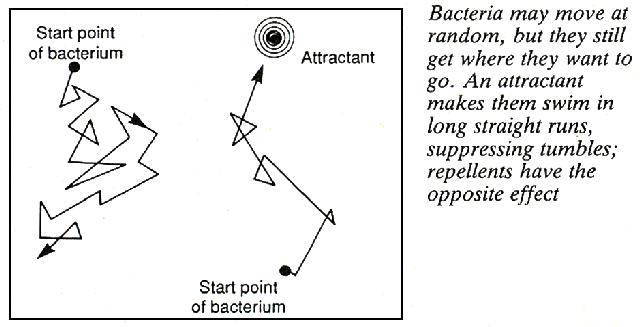 Bacteria and attractants