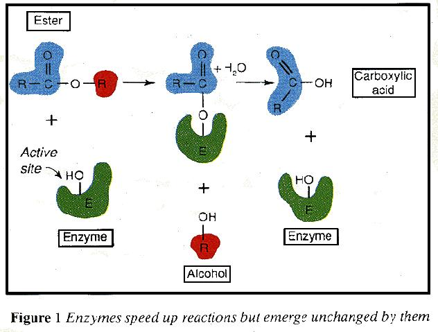 Using enzymes to speed up reactions