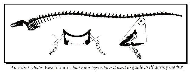 Besiliosawas - ancient whale