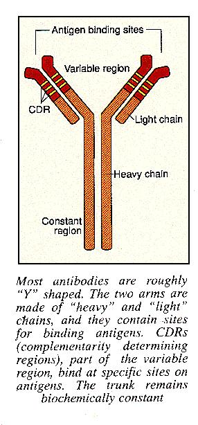 Structure of antibodies