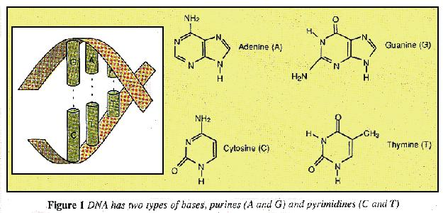 Base structures of DNA