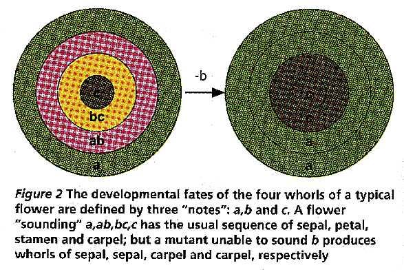 Developmental fates of a flower