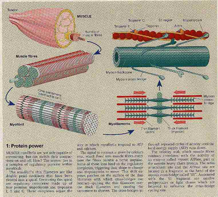 Proteins and muscle development