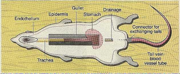 Artificial rat