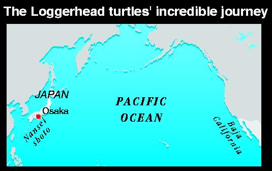 Loggerhead turtles' journey for red crabs