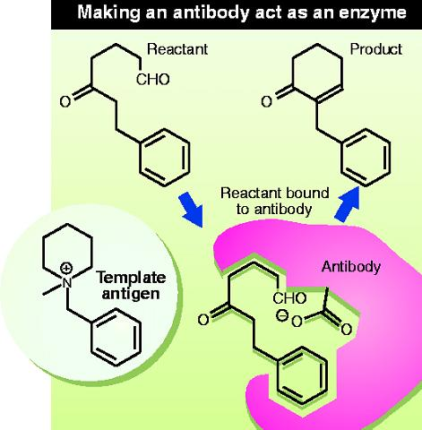 Making an antibody act as an enzyme