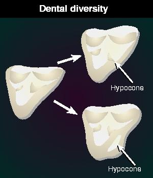 Evolution of the tooth