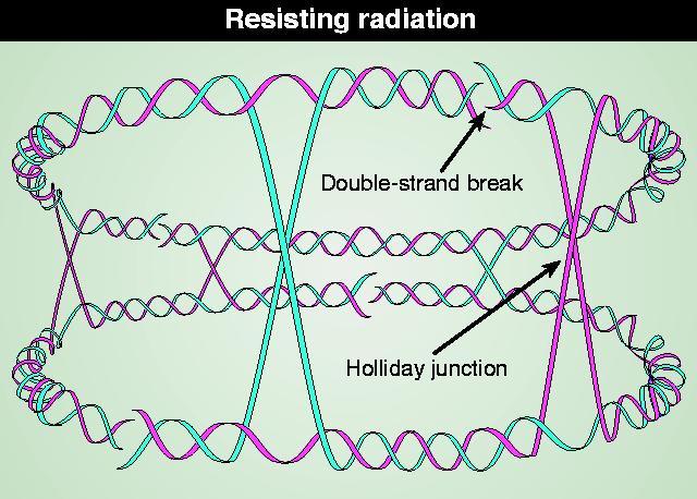 Radiation resistant bacterium