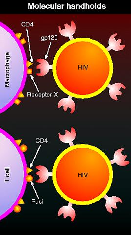Molecular handholds on HIV