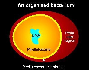 Bacterium packs its DNA at its core.