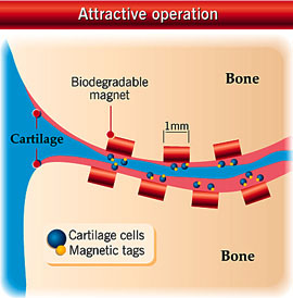 Regenerating cartilage with the use of magnets