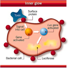 Bacteria that glow when in contact with pollutants