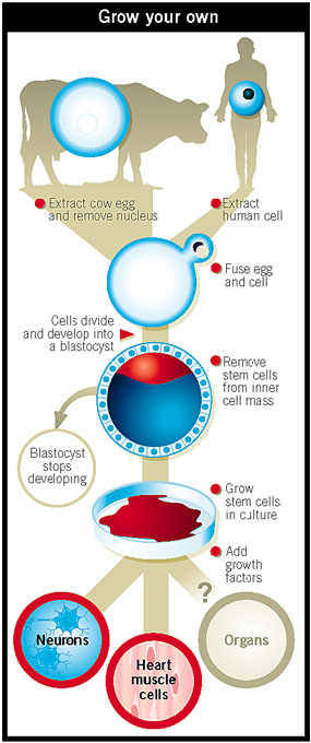 The fusing of cows egg and human cells to produce new tissue
