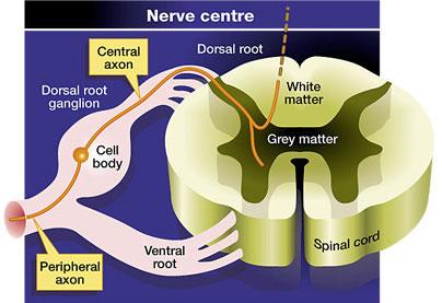 Growing injured neurons to repair damaged spinal cords