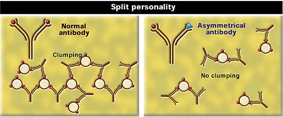 An asymmetrical antibody