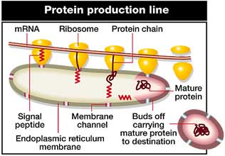 Nobel prize for Blobel's research into protein transport