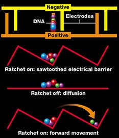 DNA fragments separated by a saw-toothed electrical barrier