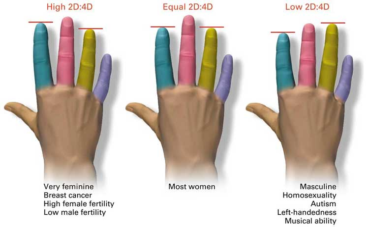 The relationship of finger lengths to human traits