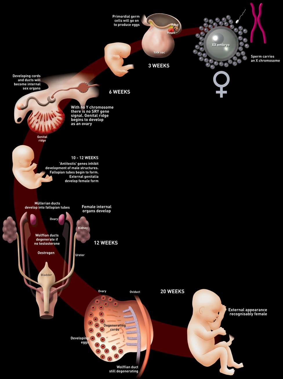 Sexual development of a female