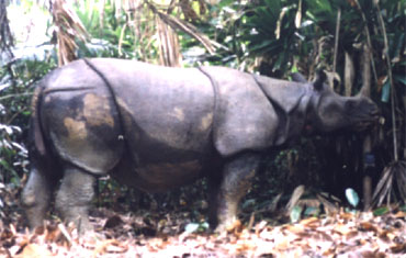 Only 50 Javan Rhino are left in Indonesia (Photo: WWF)