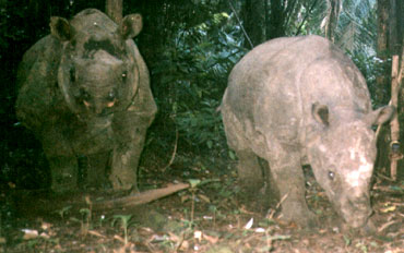 Calf and mother captured by a camera trap (Photo: WWF)
