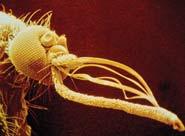 Tiny serrations on a mosquito's proboscis reduce stimulation of nerves (Photo: SPL)