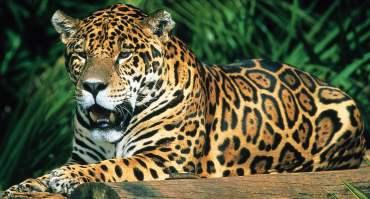 Jaguars inhabit the Tumucumaque forests (Photo: Edward Parker/WWF)