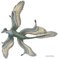 The four-winged dinosaur lived 130 million years ago (Artist's impression: Portia Sloan)