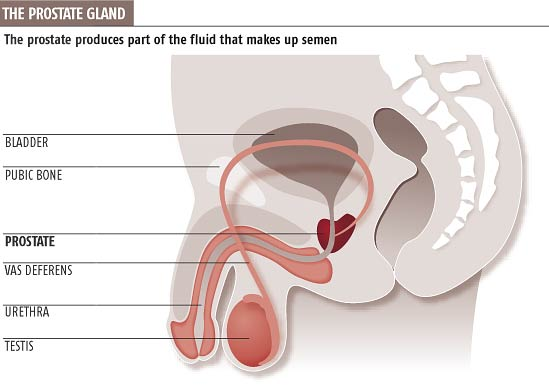 The prostate produces part of the fluid that makes up semen