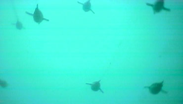 Up to 11 penguins dived together at times