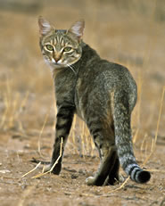 Some of the earliest tame cats may have resembled this African wildcat,