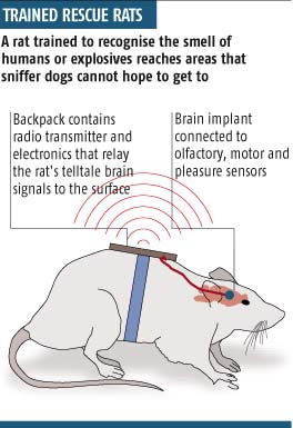 Trained rats reach the places that sniffer dogs cannot