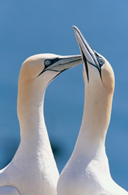 The northern gannet has bucked the trend with increases in its breeding population?s size and range.