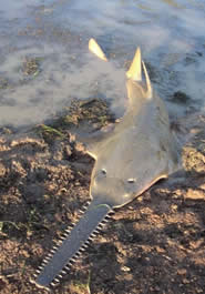 The distinctive rostrum of the Largetooth sawfish often becomes entangled in West Pacific fishing nets