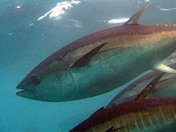 Tuna keep their whole bodies warm, giving them a visual edge