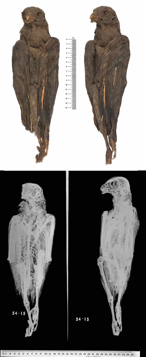 X-ray images of falcons show they were carefully preserved
