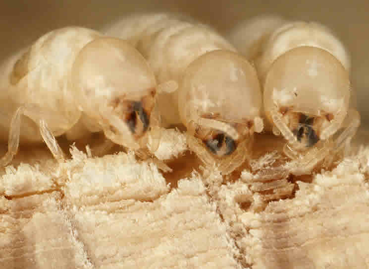 The Termites Use The Vibrations To Choose Their Meal, And Even To Manage  The Reproductive