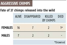 Aggressive chimps