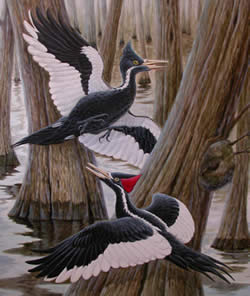 The ivory-billed woodpecker was thought to have been extinct for 50 years