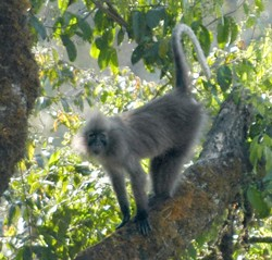 The new monkey species emits a distinctive low-pitched