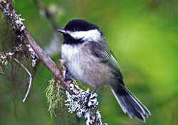 The tiny bird can alert its flock to how dangerous a predator is by upping the length of its calls
