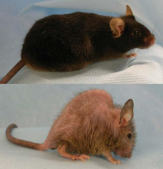 The lower 8-month-old mouse is lacking in p63 and is experiencing untimely ageing, giving it a hunched back and hair loss, compared to a control mouse of the same age, above
